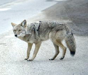 How to get rid of coyotes in Pinellas Hillsborough Pasco Manatee Counties