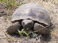 Gopher Tortoise in the Tampa Bay area.
