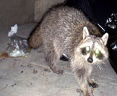 Tampa Bay raccoon control