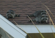 Raccoons on a roof.