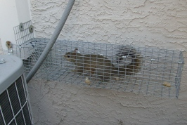 Trapped squirrel in tampa exiting AC chase.