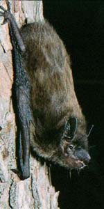 Tampa bat removal company also serving Saint Petersburg * Clearwater * Bradenton * Sun City Center * Apollo Beach * and all of Pinellas, Hillsborough, Pasco and Manatee counties.