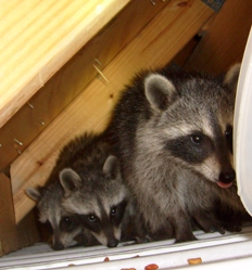 how to get rid of raccoons on balcony